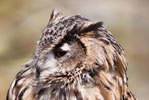 Turkmenian Eagle Owl (Captive)
