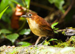 Yellow-breasted Antpitta