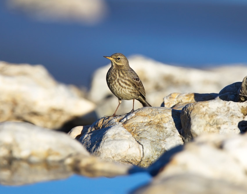 Rock Pipit <i>(Anthus petrosus)</i>