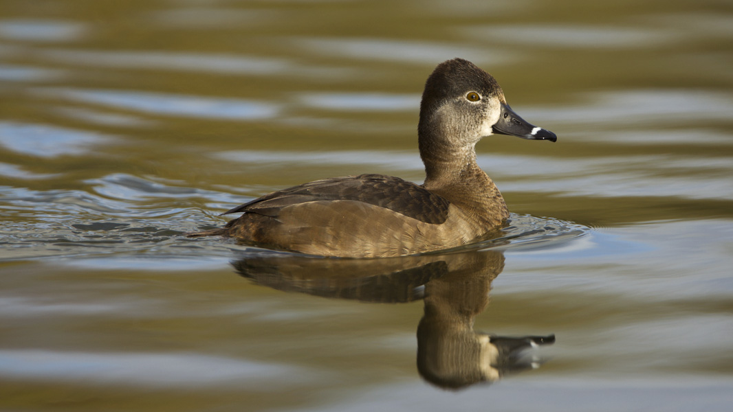 Ring-necked Duck (Aythya collaris)
